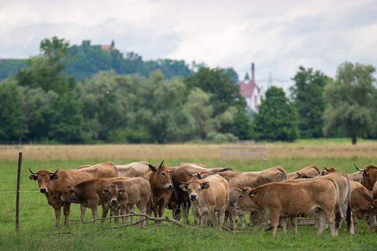 Weide mit Rindern